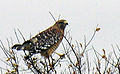 Red-shouldered Hawk (73165404).jpg