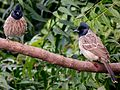 Red-vented Bulbuls birds.JPG