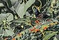 Red-vented bulbul (Pycnonotus cafer)කොන්ඩ කුරුල්ලා.jpg