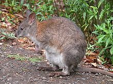 RedNeckedPademelon-side-800.jpg