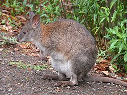 https://upload.wikimedia.org/wikipedia/commons/thumb/0/0d/RedNeckedPademelon-side-800.jpg/260px-RedNeckedPademelon-side-800.jpg