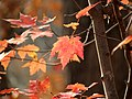 Red Maple (31025638342).jpg