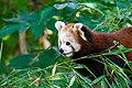 Red Panda (37469240522).jpg