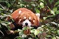 Red Panda Ocean Park 2.JPG