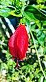 Red Rose 2018 16.jpg