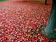 Image: Red autumn leaves.jpg (row: 10 column: 13 )