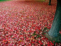 Red autumn leaves.jpg