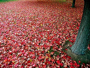 A carpet of fallen red autumn leaves.