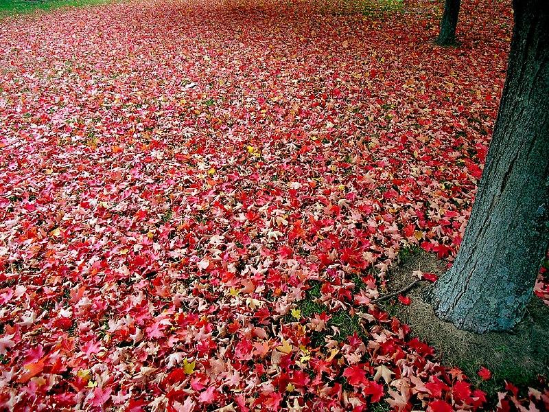 File:Red autumn leaves.jpg