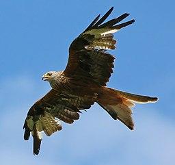 Red kite (Milvus milvus) (cropped)