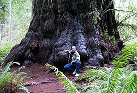 Redwood Tree In Northern California Forest According To The National Park Service 96 Percent Of Original Old Growth Coast Redwoods Have Been
