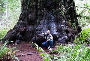 Forest ecology - Redwood tree in northern California forest, where many trees are managed for preservation and longevity
