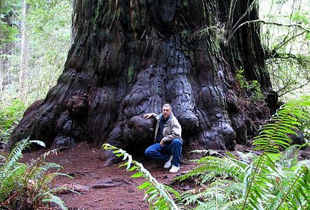 Redwood tree in northern California redwood forest, where many redwood trees are managed for preservation and longevity, rather than being harvested for wood production Redwood M D Vaden.jpg