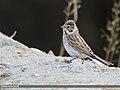 Reed Bunting (Emberiza schoeniclus) (51367502817).jpg
