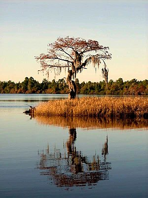 Singletary Lake State Park - A cypress near the shore of Singletary Lake