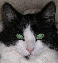 Crna maca mobilni vidovi