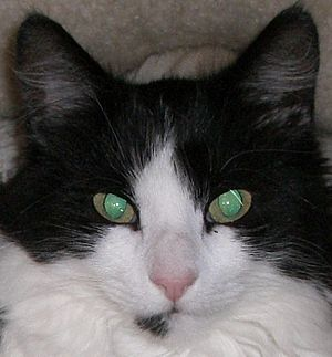 Cat senses - The tapetum lucidum reflecting green in the pupils of a cat