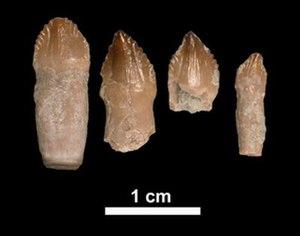Revueltosaurus - Teeth of Revueltosaurus callenderi collected in Petrified Forest National Park