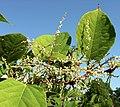 Reynoutria japonica flower (34).jpg