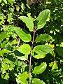 Rhamnus cathartica leaves1.jpg