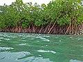 Rhizophora mangle (red mangroves) (San Salvador Island, Bahamas) 7 (15786145972).jpg