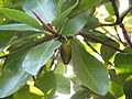 Rhizophora mucronata14.JPG