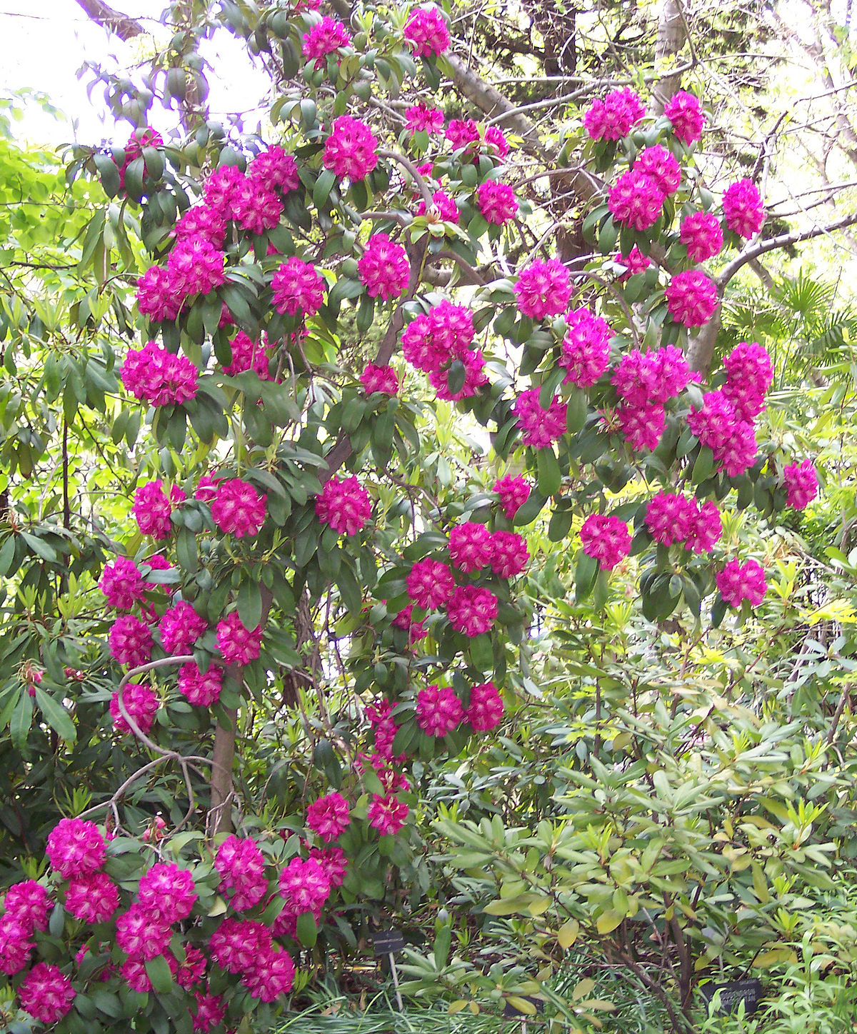 Rhododendron 'Purple Splendour'.jpg