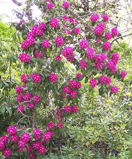 hybride purple splendour