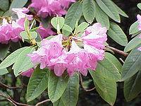 Rhododendron adenogynum1