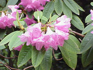 Loddiges - The Common Mauve Rhododendron introduced into Britain by Conrad Loddiges