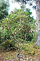 Rhododendron grande - Mendocino Coast Botanical Gardens - DSC02090.JPG