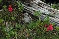 Rhododendron hirsutum (8393795831).jpg
