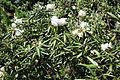 Rhododendron metternichii var. hondoense - Arnold Arboretum - DSC06883.JPG