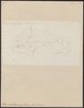 Rhynchobatus ancylostomus - 1700-1880 - Print - Iconographia Zoologica - Special Collections University of Amsterdam - UBA01 IZ14200013.tif