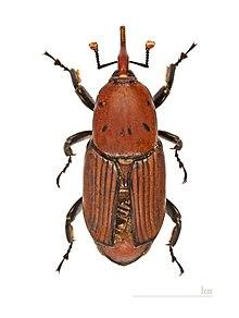 [Image: 220px-Rhynchophorus_ferrugineus_MHNT.jpg]