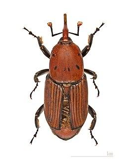 Rhynchophorus ferrugineus MHNT