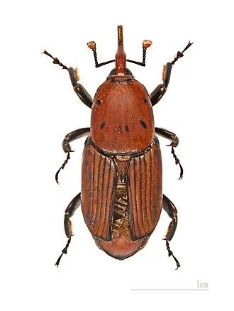 Rhynchophorus ferrugineus - Image: Rhynchophorus ferrugineus MHNT