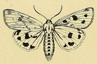<i>Rhyparioides</i> genus of insects