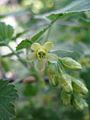 Ribes americanum 2.jpg