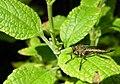 Robbery-fly species of asilid genus.jpg