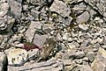 Rock Ptarmigan Alaska.jpeg