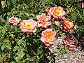 Rosa 'FElfut' F. Ferrer 2007 RPO1.jpg
