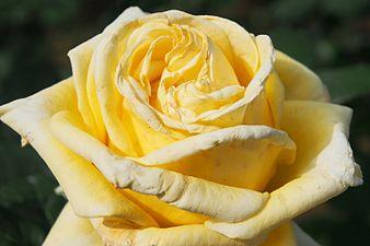Rosa 'Helmut Schmidt'.jpg