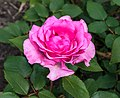 Rosa 'Mr. Darcy' (actm) 01.jpg