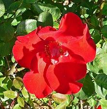 Rosa Altissimo 1.jpg