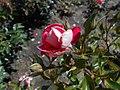 Rosa Piccadilly 2018-07-16 6531.jpg