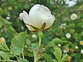 Rosa spinosissima inflorescence (42).jpg