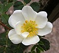 Rosa spinosissima inflorescence (80).jpg