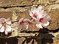 Rosales - Prunus dulcis 'Ingrid' - 2.jpg