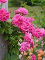 Rose, The Wallflower, バラ, ザ ウォールフラワー, (15897546536).jpg